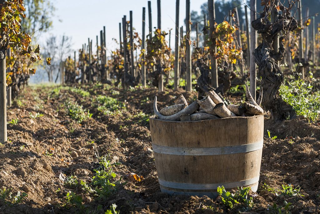 Wooden container of Raventos Cowhorns in a vineyard